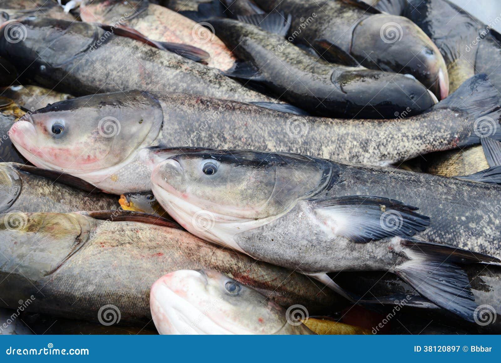 Freshwater carp - photo#8