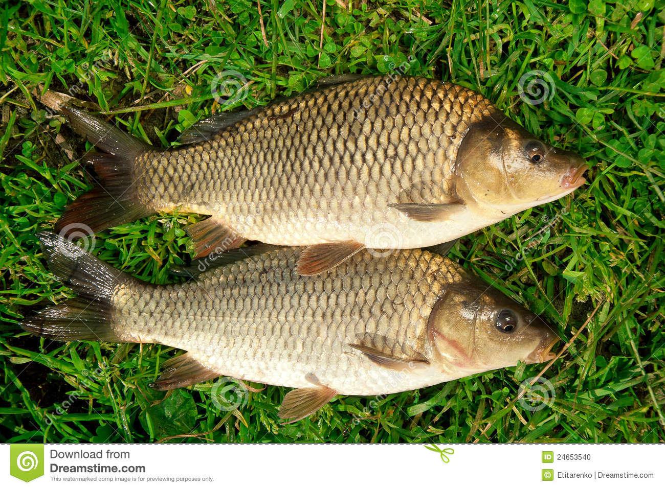 Freshwater fish carp catch in grass stock photo image for Grass carp fish
