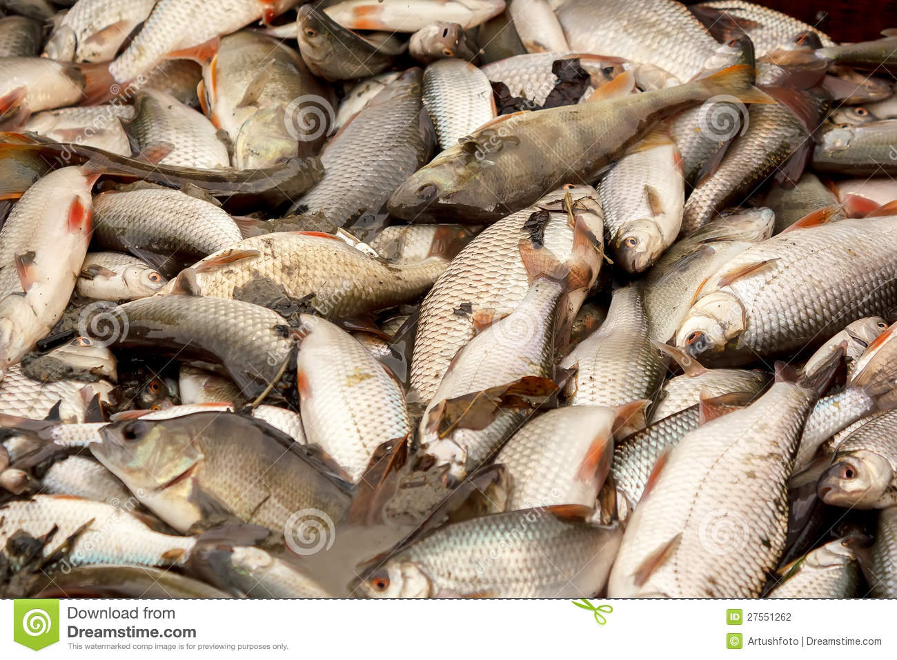 Freshwater fish caught in fishing pond stock photography for Freshwater pond fish