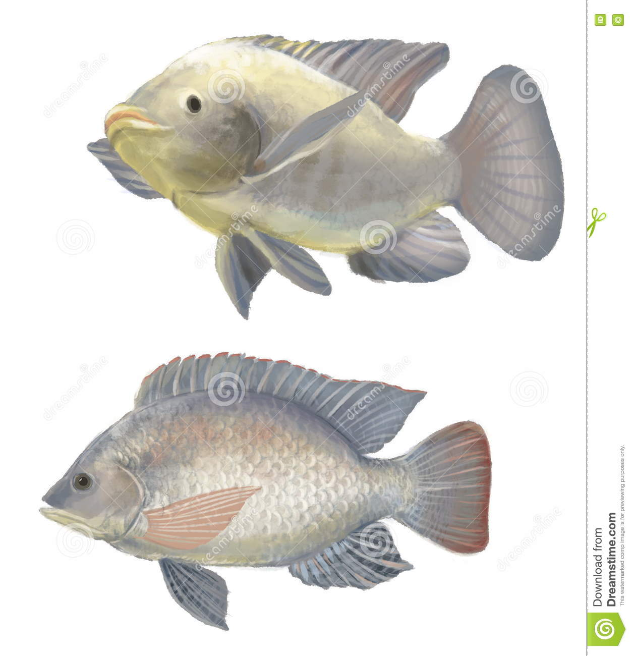 Freshwater Fish Tilapia Stock Illustration Image Of