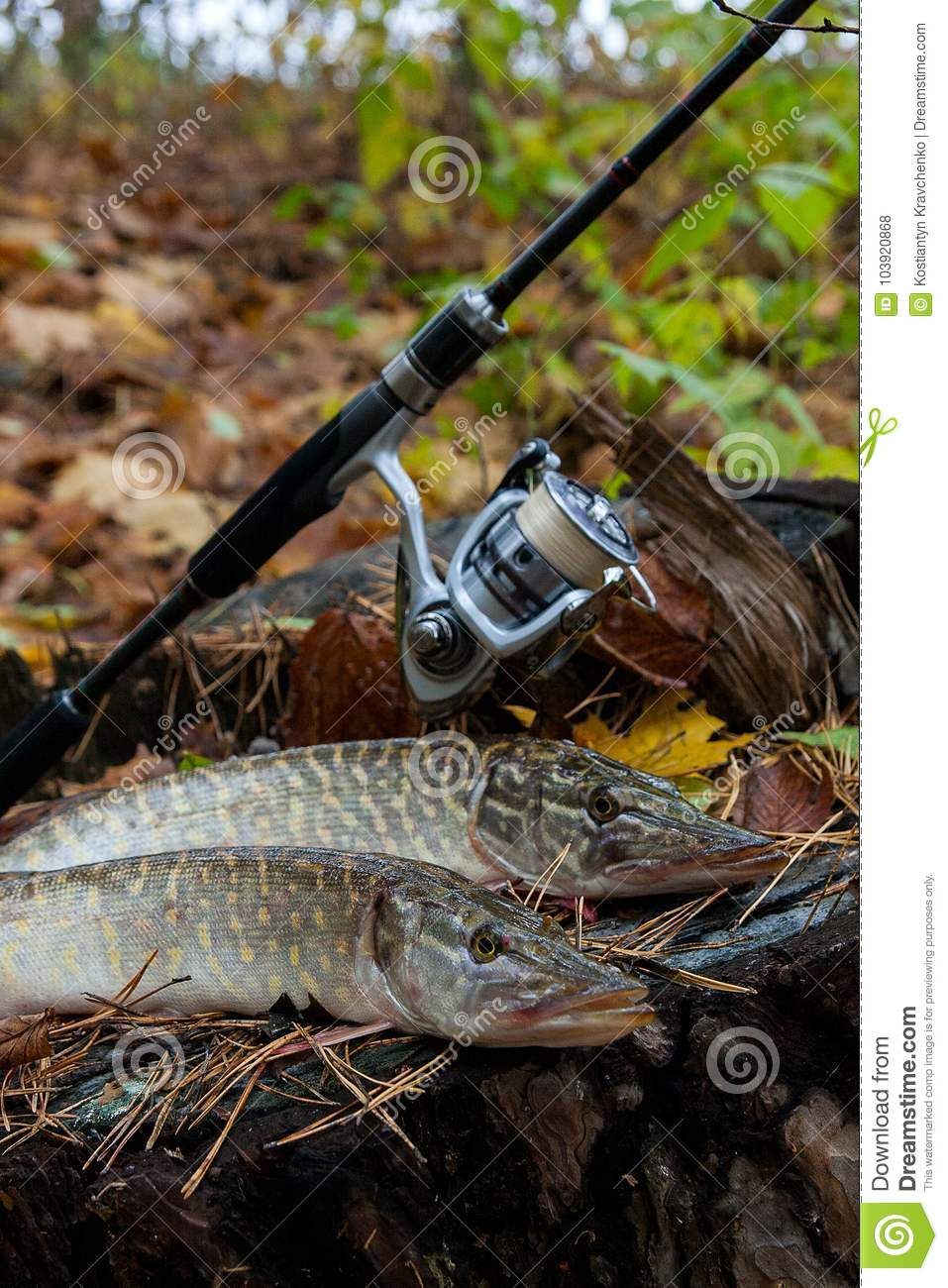 Freshwater pike fish lies on a wooden hemp and fishing rod with