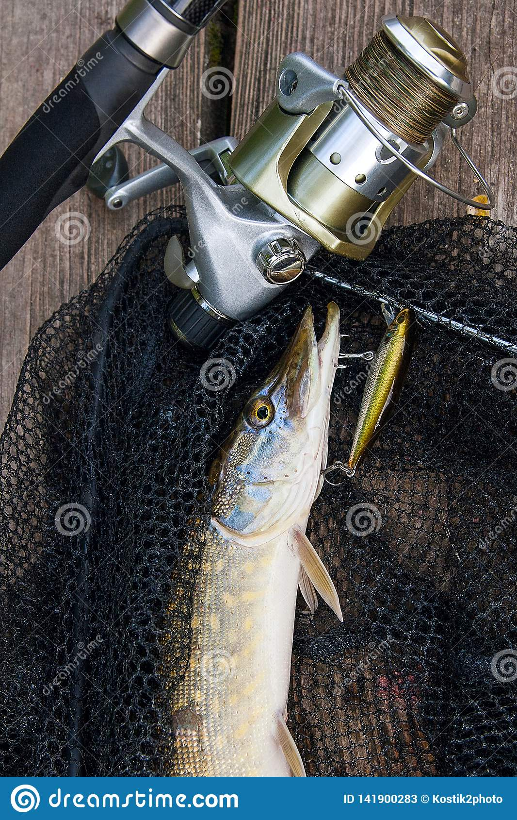 Freshwater pike with fishing lure in mouth and fishing equipment lies on black fishing net