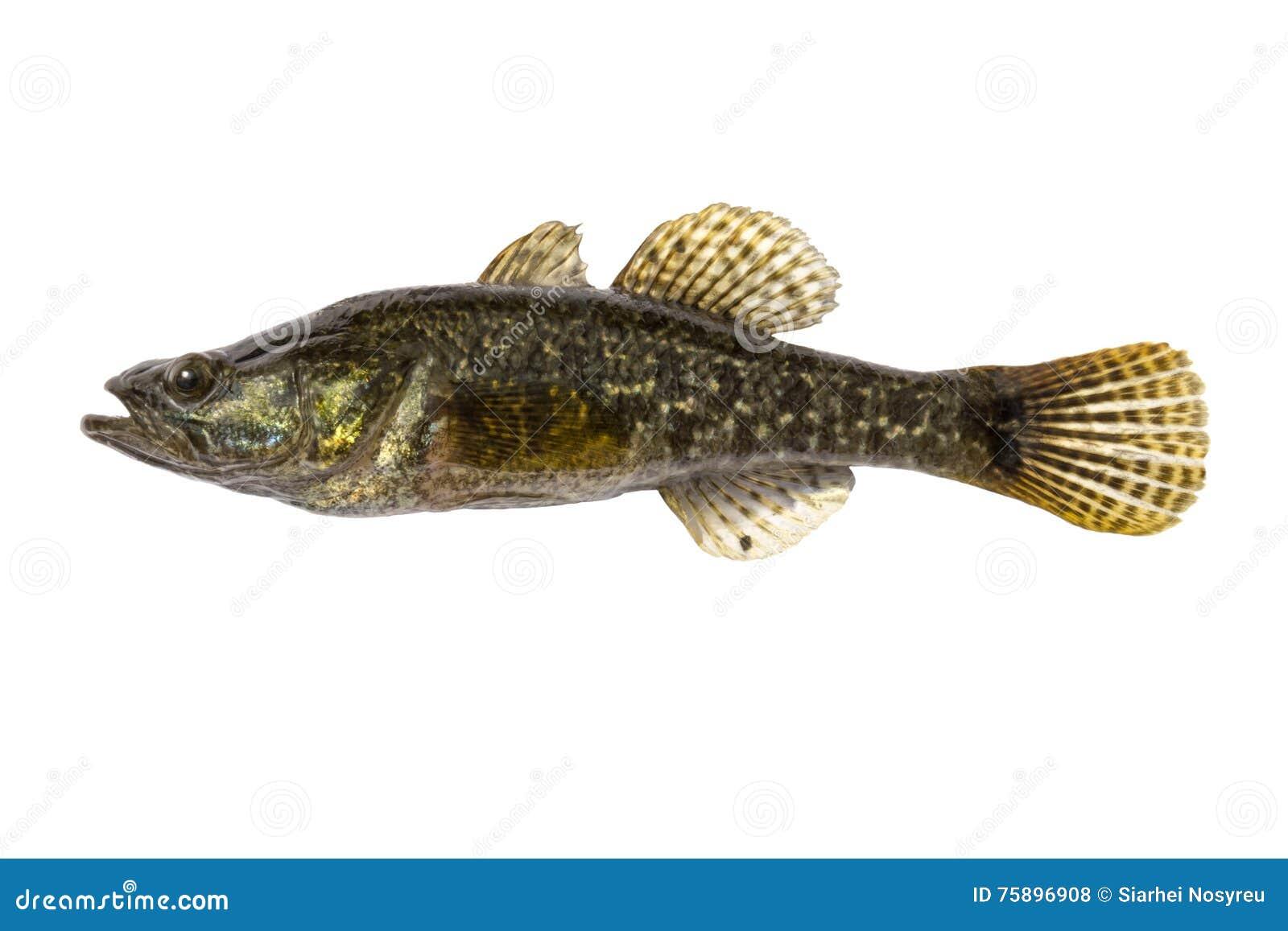 Freshwater predatory fish rotan isolated perccottus for Predatory freshwater fish