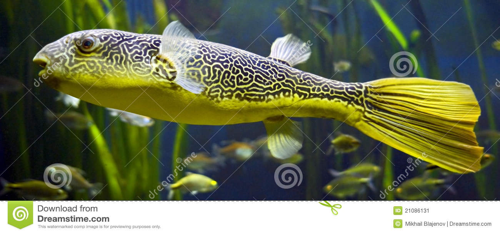 Freshwater Puffer 4 Stock Image Image Of Fish Puffer