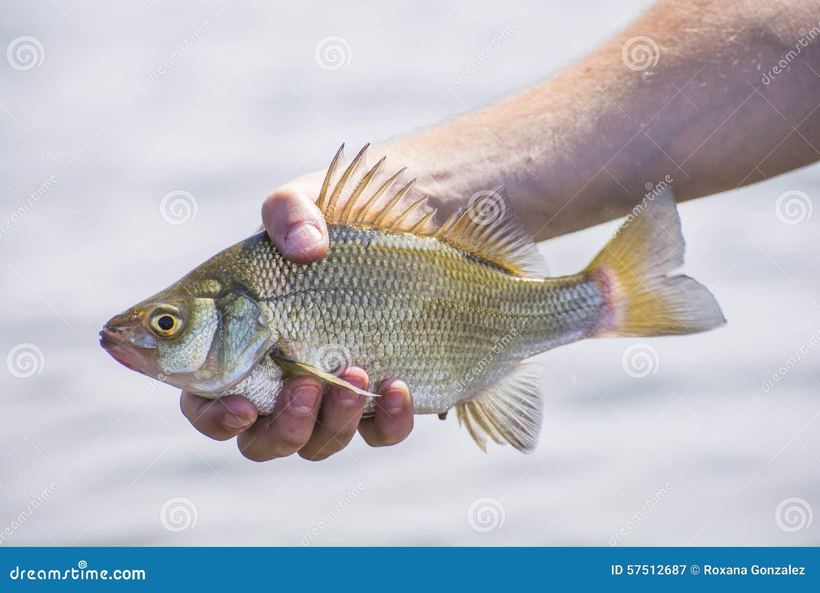 Freshwater fish canada - Freshwatre Drum Fish