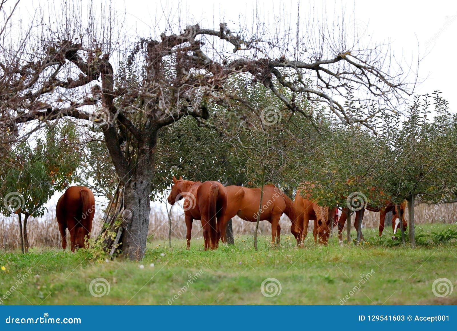 Fridsamt idylliskt landskap med unga kastanjebruna stoar på kullen