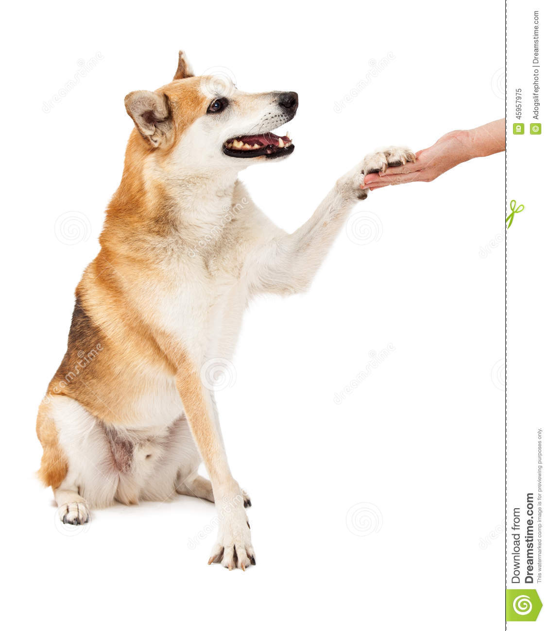 Dog And Human Mix A friendly shiba inu mix dog