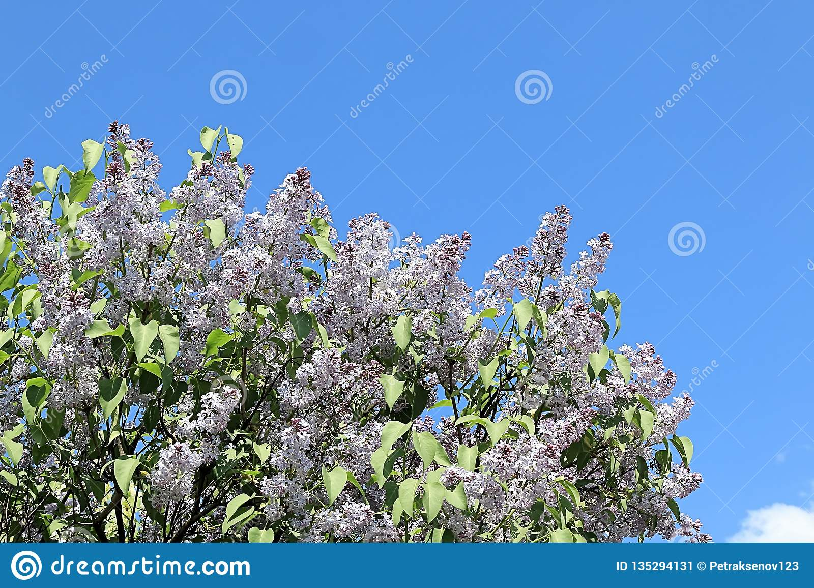 Friendly, beautiful and cheerful spring lilac striving for a brighter future