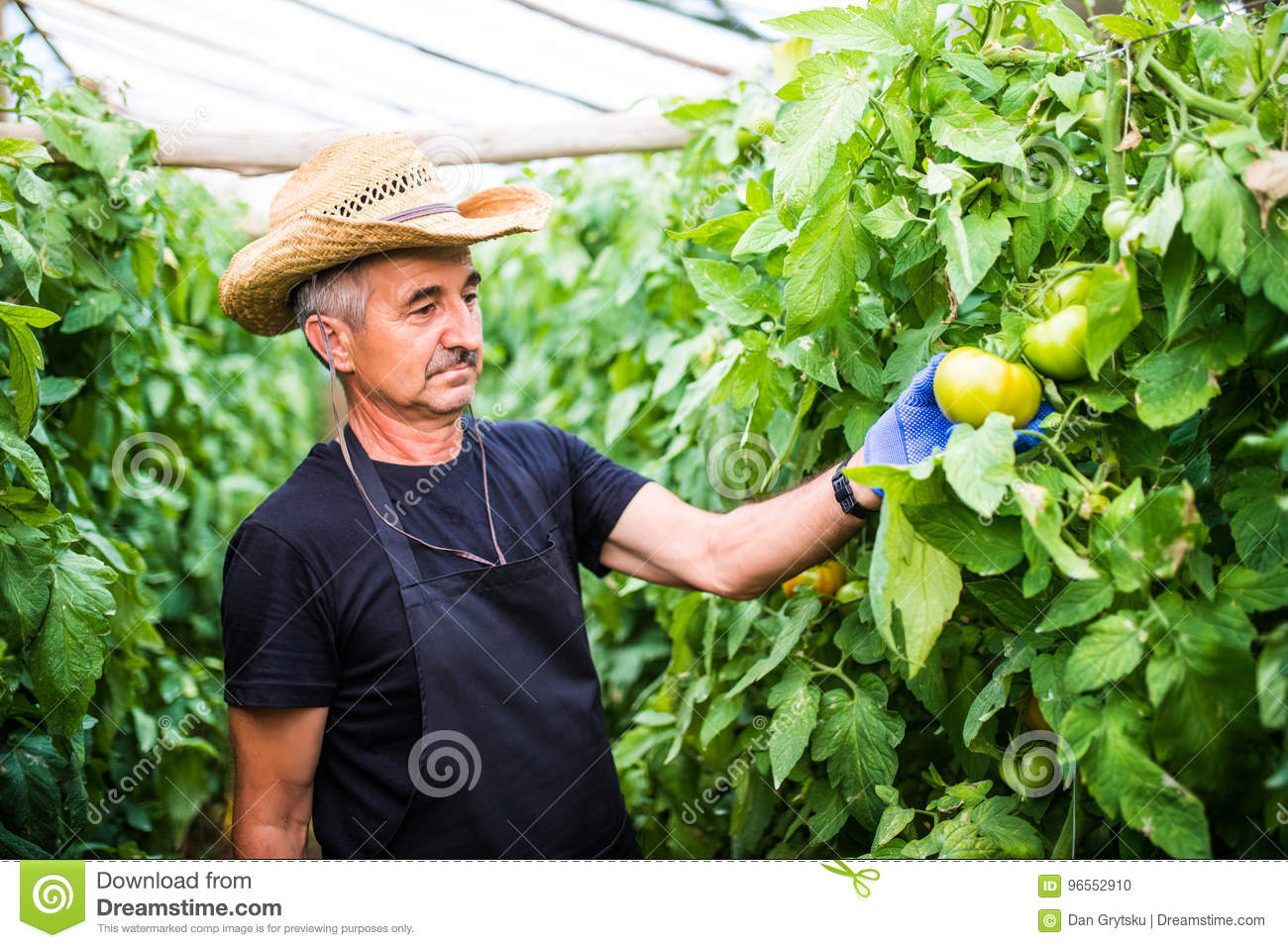Friendly Farmer At Work Checking Tomato In Greenhouse Stock