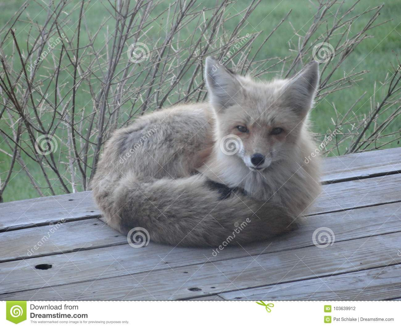 The Friendly Foxes Of Mccall Idaho Stock Photo Image Of Perfect