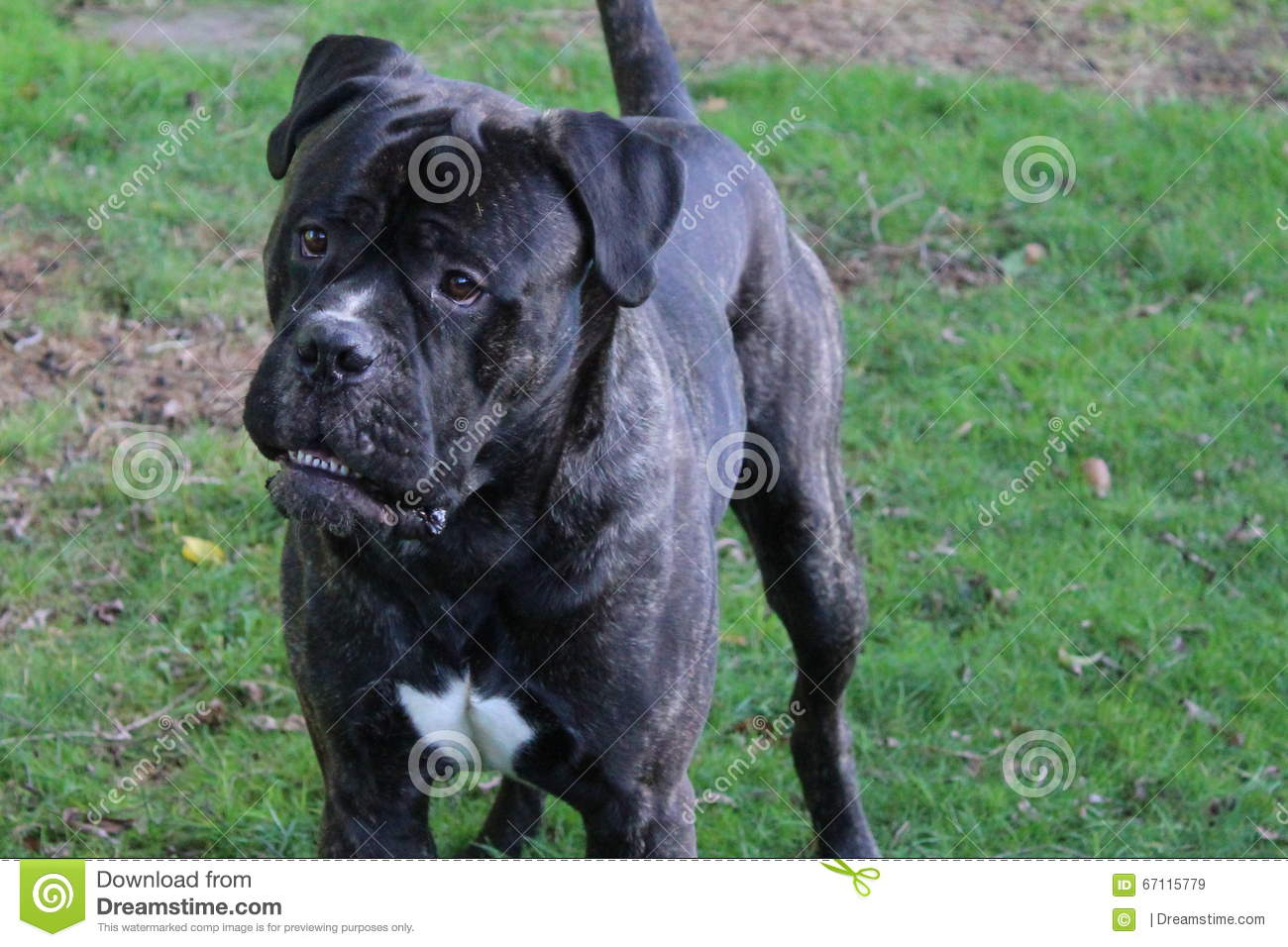 Friendly Giant Stock Image Image Of Bullmastiff Green 67115779