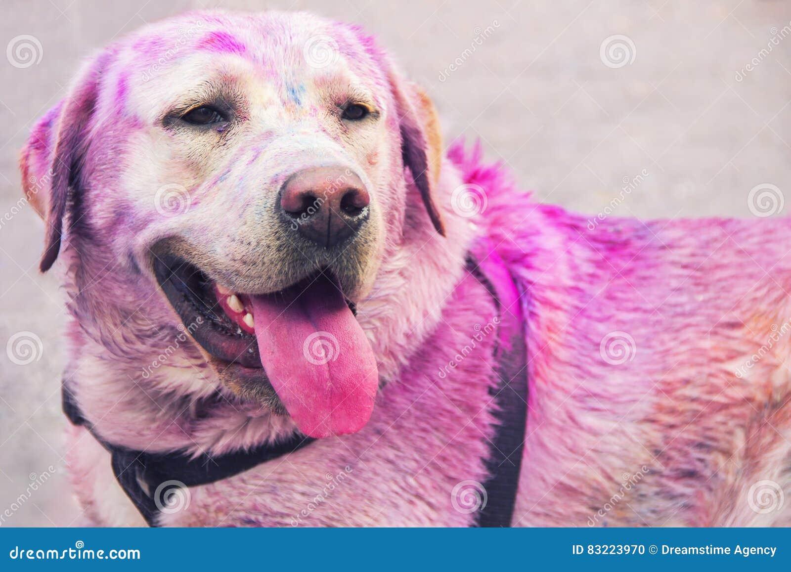 Friendly Labrador.