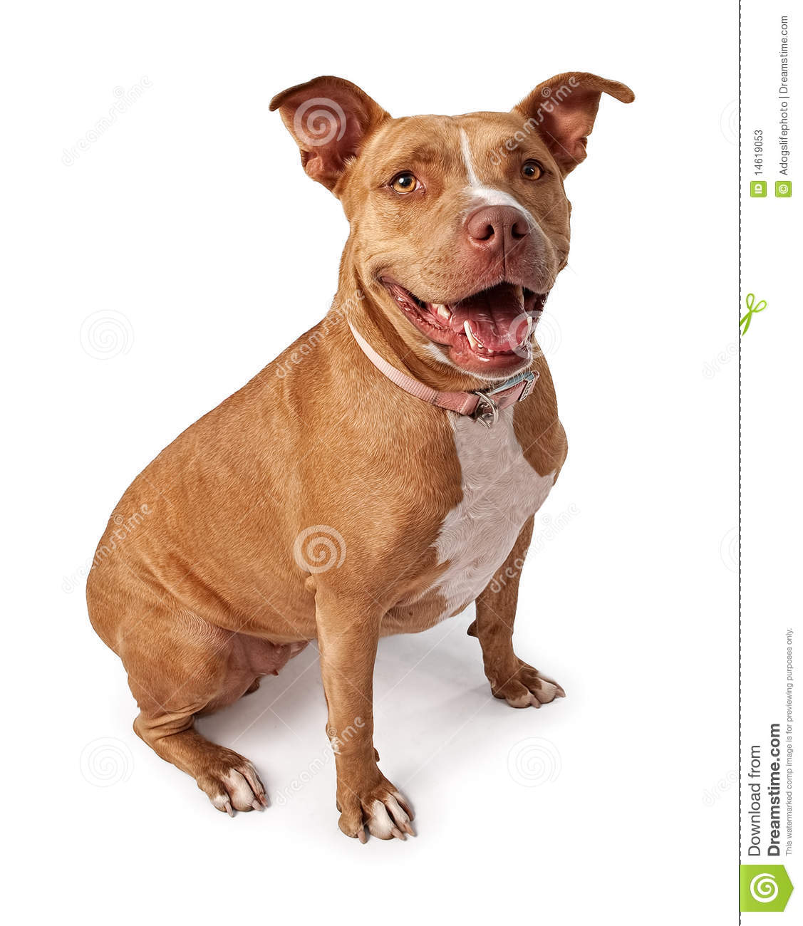 Friendly Pit Bull Stock Photos - Image: 14619053