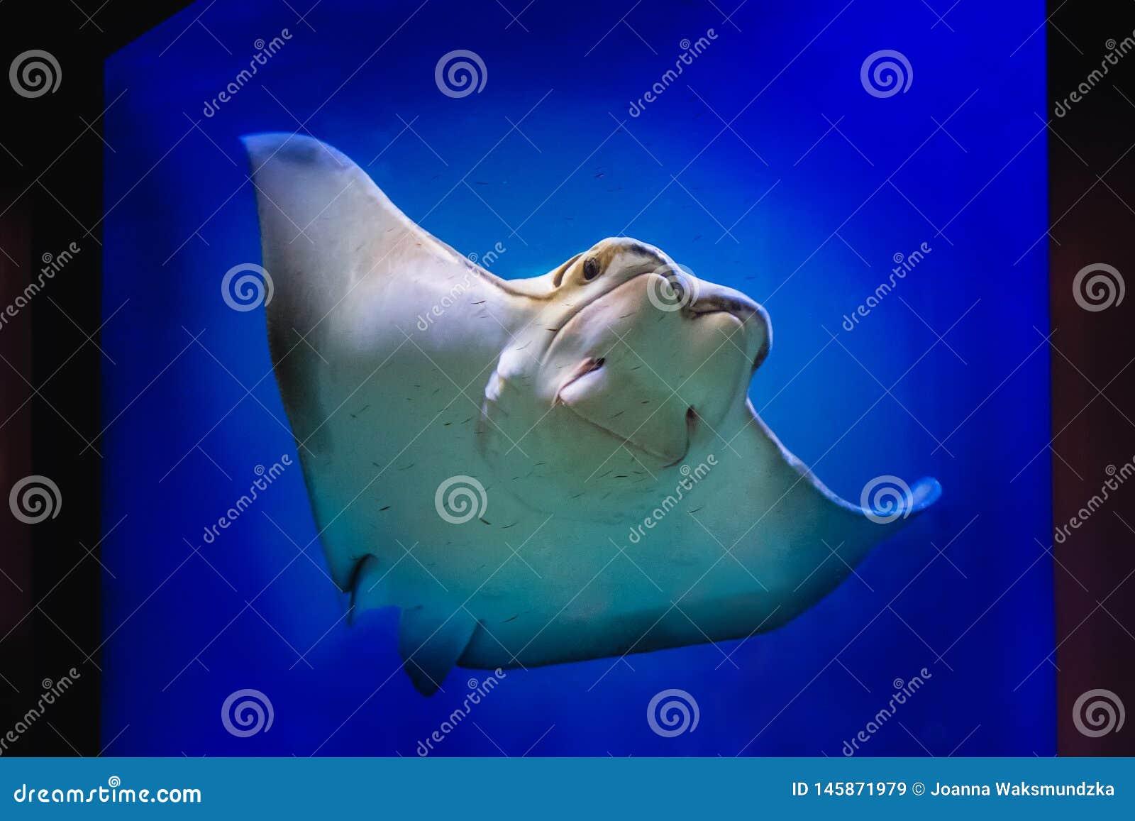 A friendly stingray swimming in a large aquarium tank.