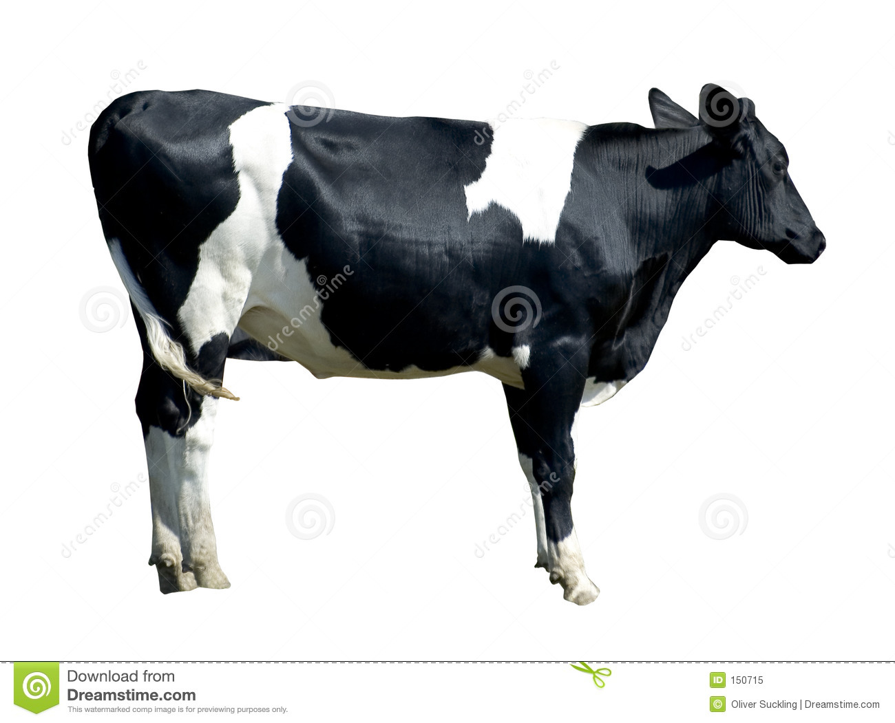 Friersian cow (isolated)
