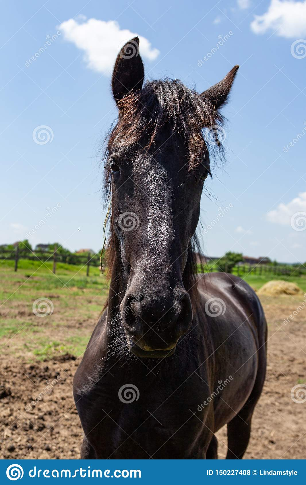 Friesian Black Horse Stock Photo Image Of Camera Horse 150227408
