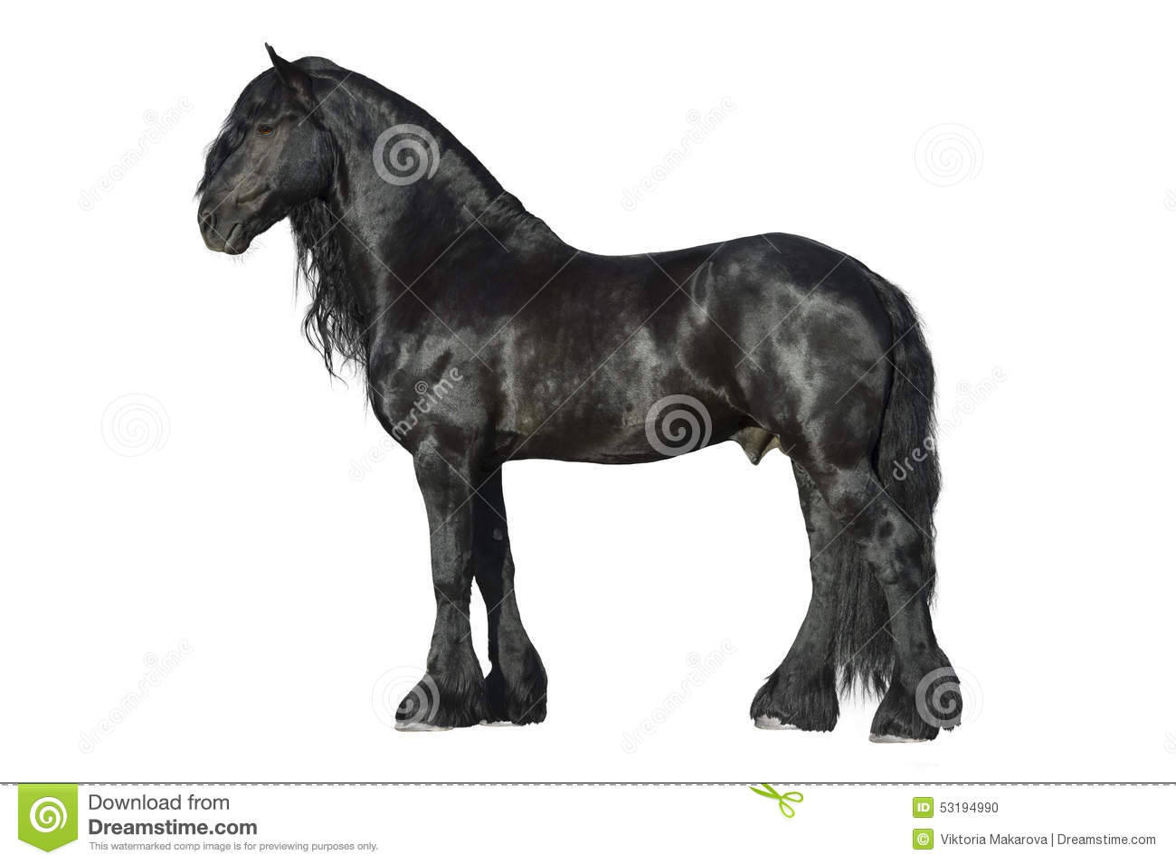 Friesian black horse isolated on the white