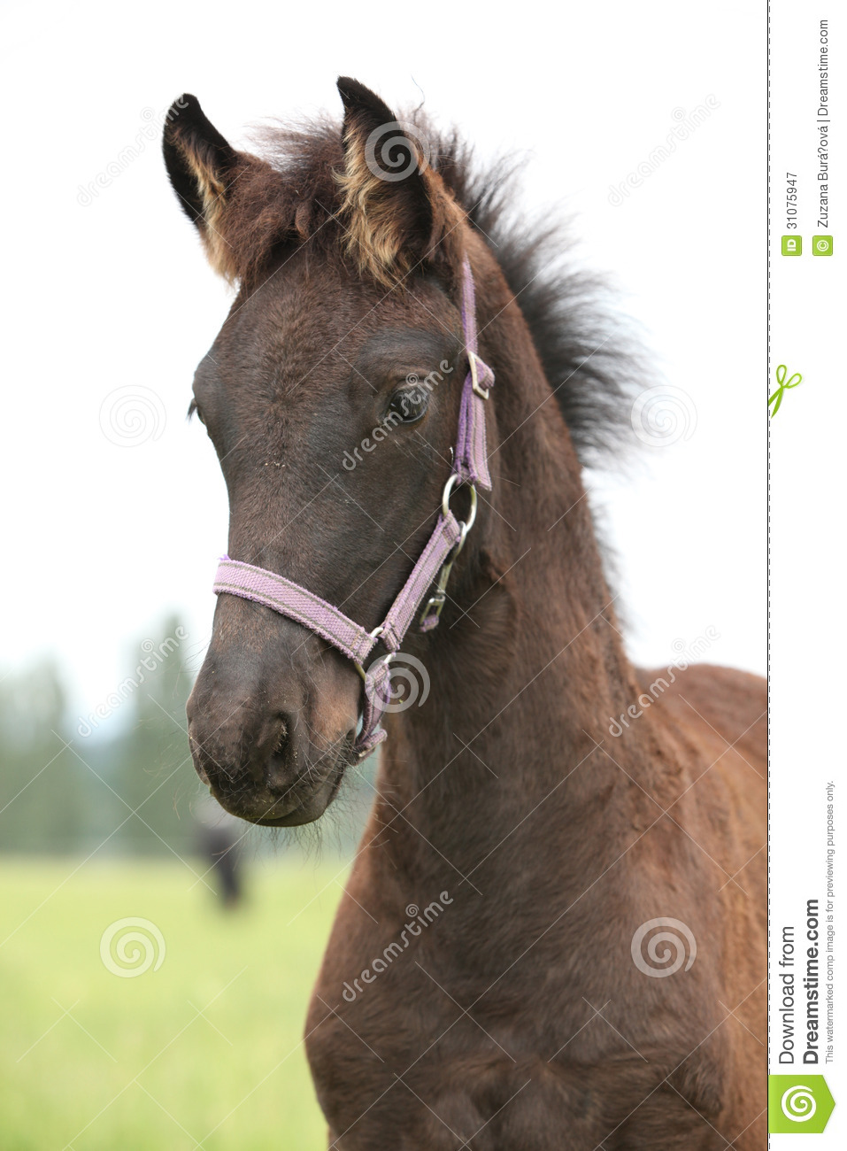 Friesian Foal With Halter Standing On Pasturage Royalty ...