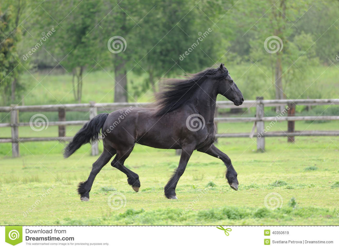 Friesian horse in the field