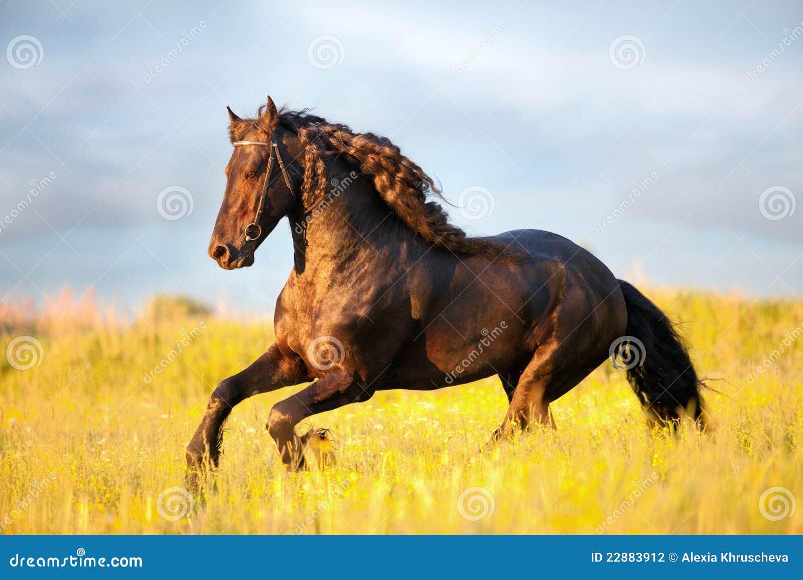 Friesian horse gallop in field