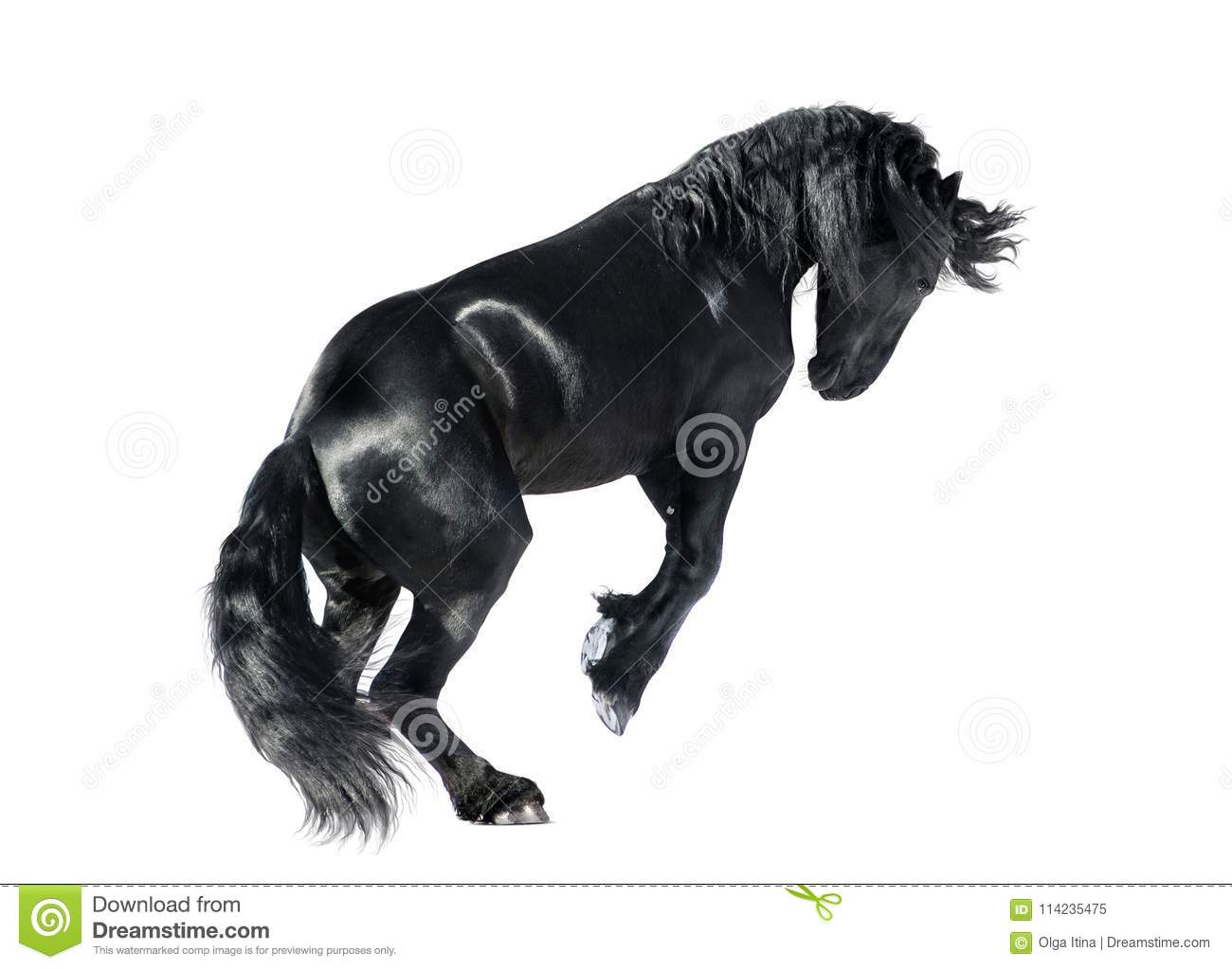 Friesian horse rears isolated on white background