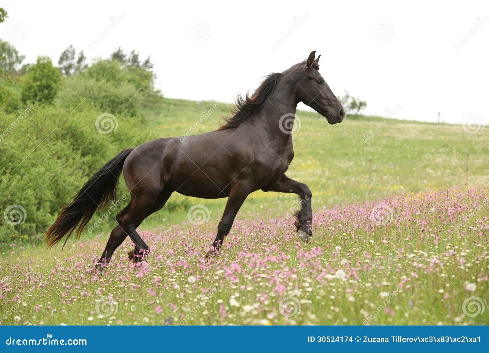 This horse is having fun. Beautiful black horse running ...  |Friesian Horses Running
