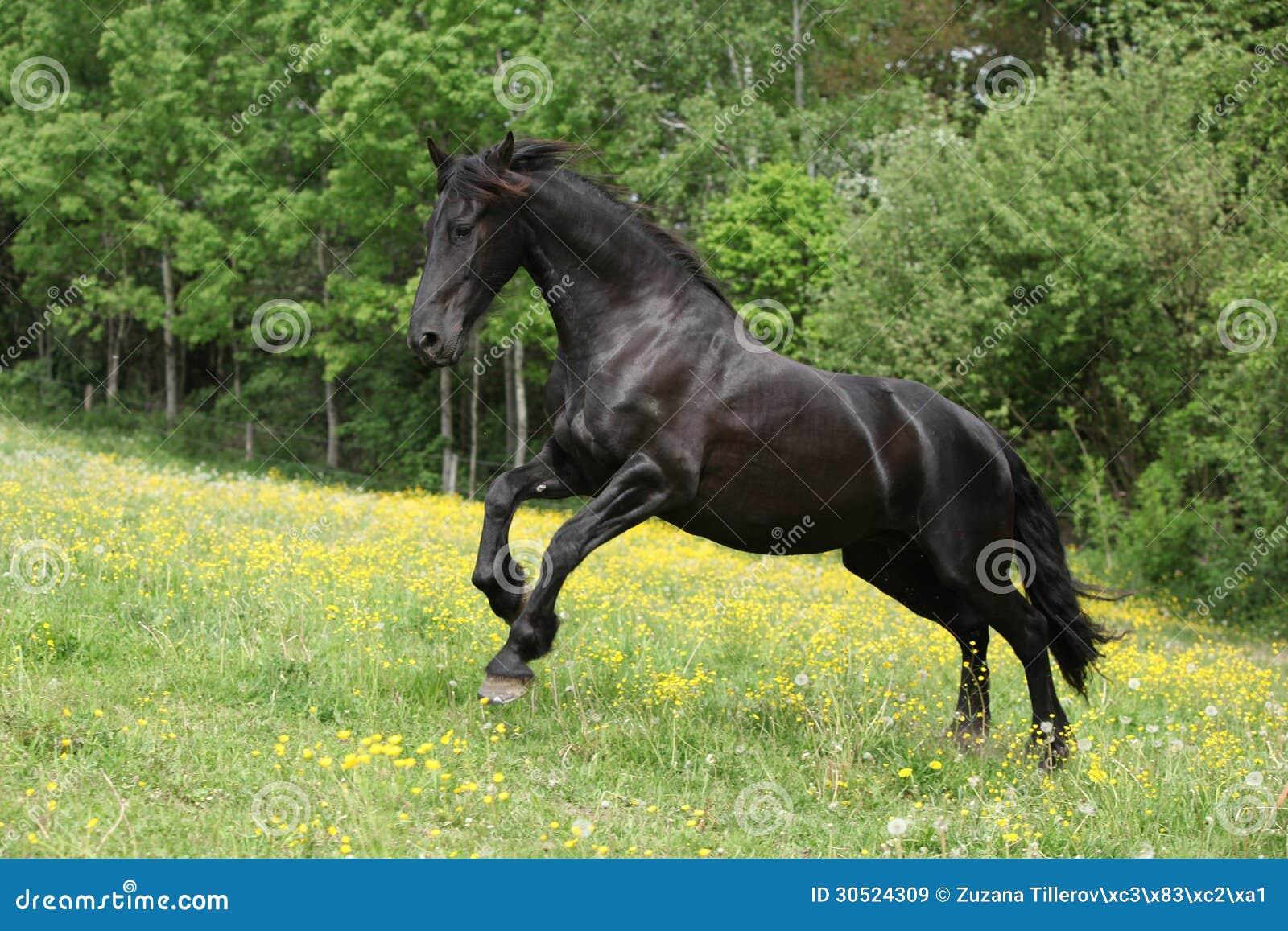 Friesian Horse Black Stallion Galloping Stock Photos ...  |Friesian Horses Running