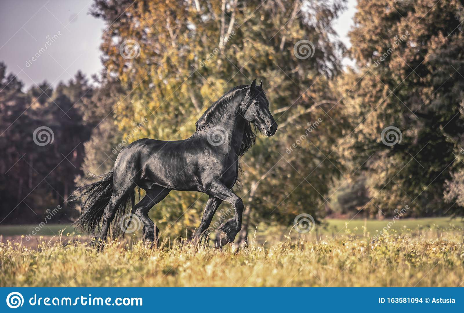 Beautiful Black Horse The Friesian Stallion Gallops On The Autumn Meadow Stock Photo Image Of Horse Action 163581094