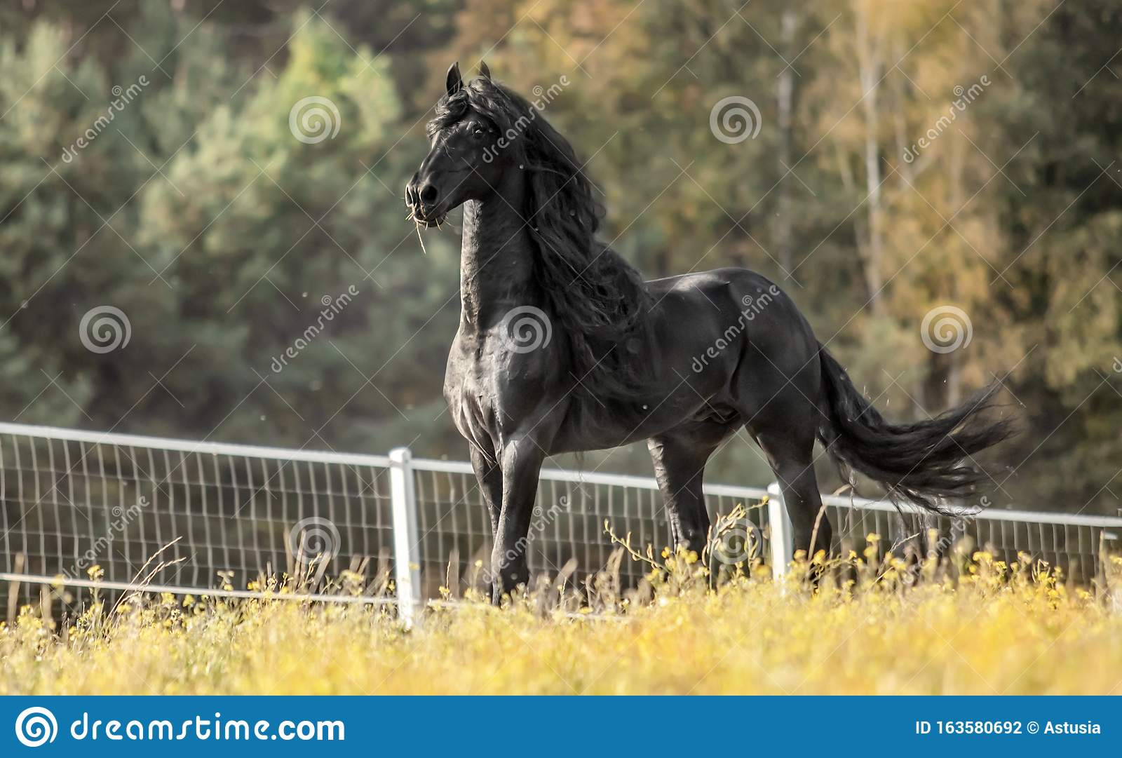 Beautiful Black Horse The Friesian Stallion Gallops On The Autumn Meadow Stock Photo Image Of Black Beautiful 163580692