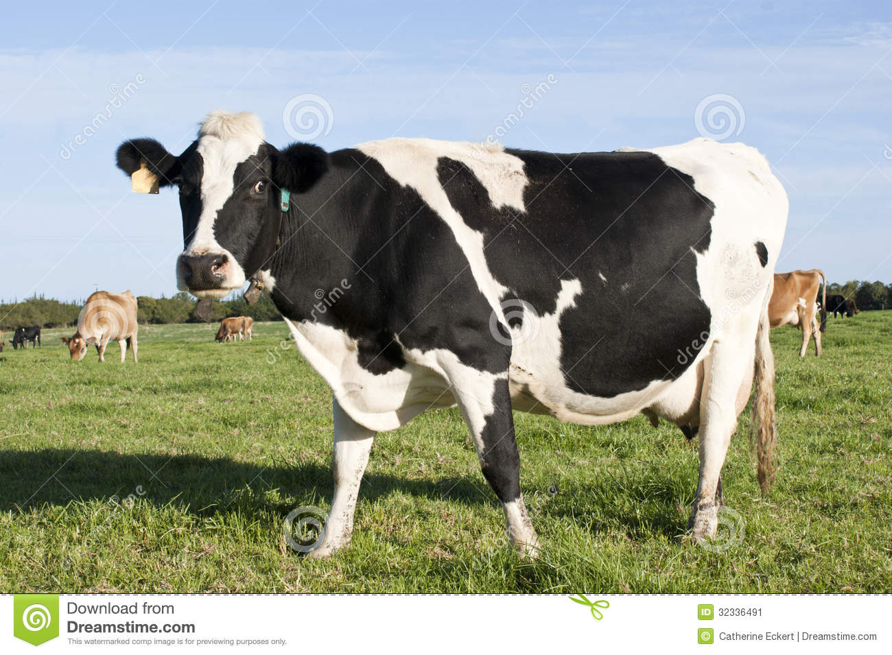 Friesland Cow Stock Image - Image: 32336491