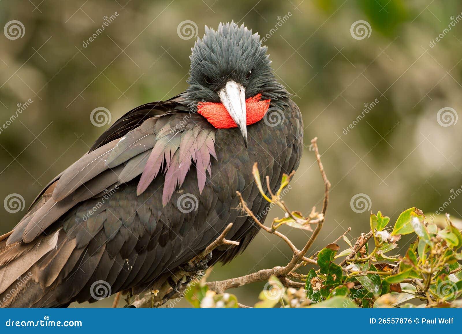 Frigatebird magnifico maschio