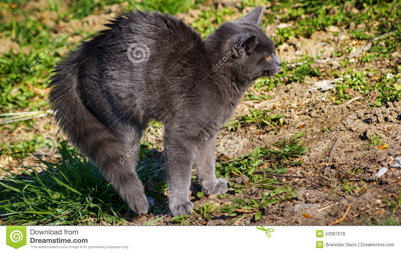 Frightened Russian Blue Cat Stock Image
