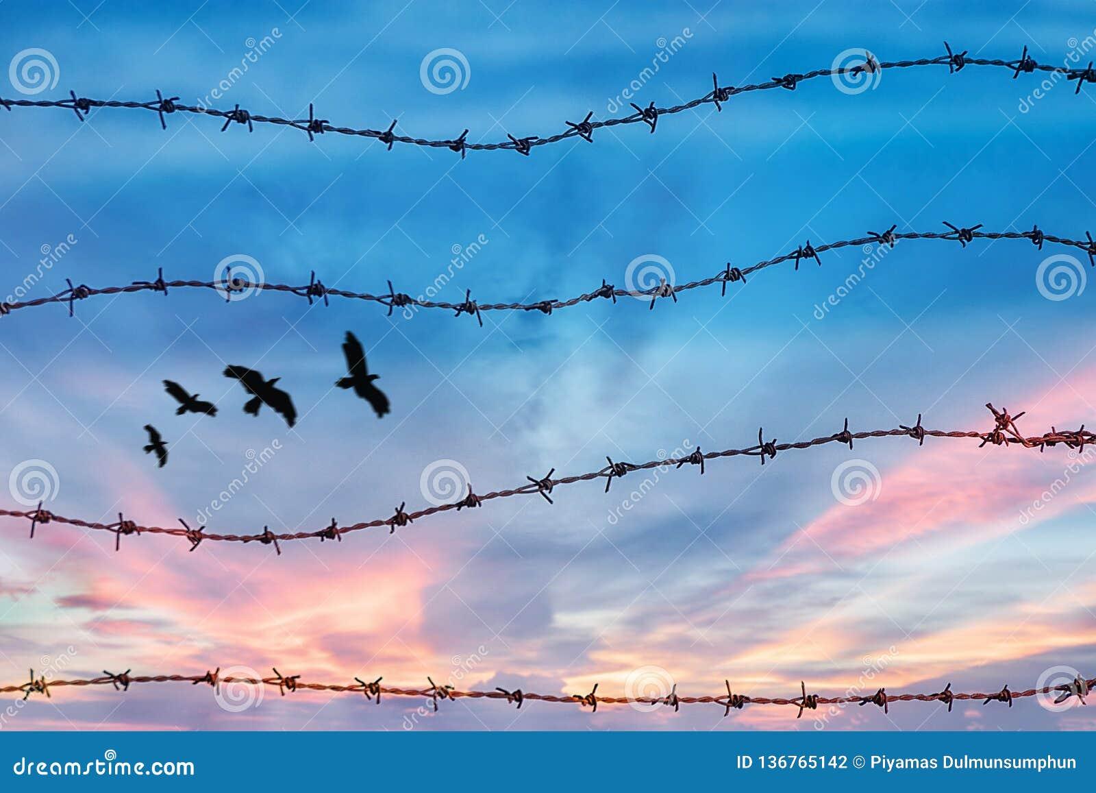 Frihets- och mänsklig rättighetbegrepp kontur av det fria fågelflyget i himlen bak taggtråd med solnedgångbakgrund