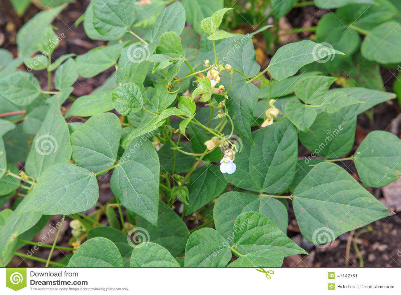 Frijol or black bean plant from a plantation