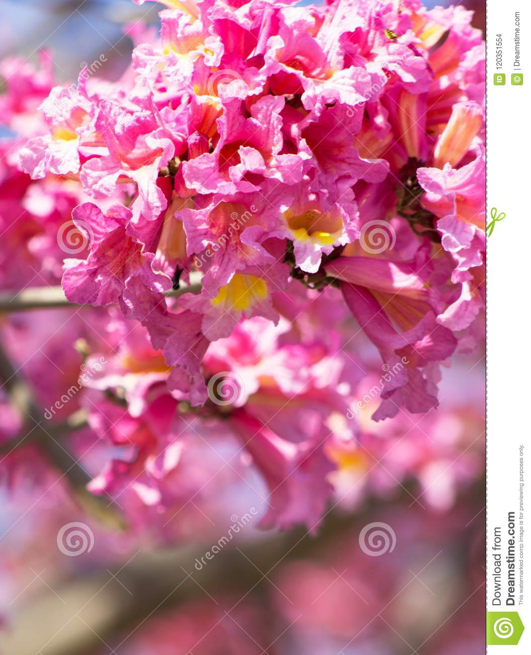 Frilly Pink Trumpet Shaped Flowers From Tabebuia Rosea Tree With