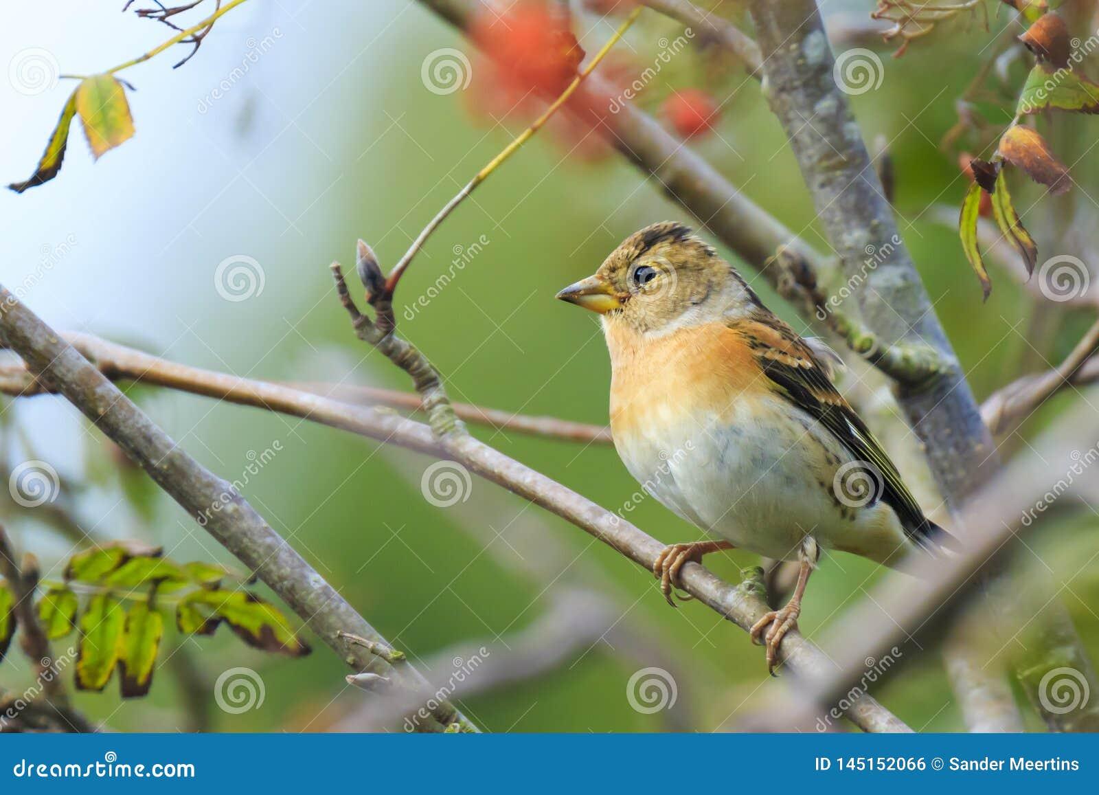 花鸡鸟,Fringilla montifringilla,在冬天全身羽毛哺养的莓果