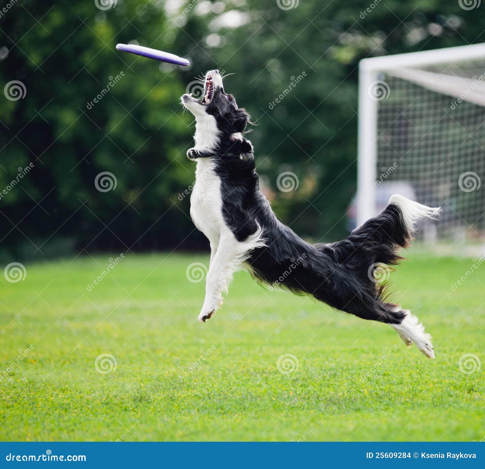 порода собак которая ловит фрисби
