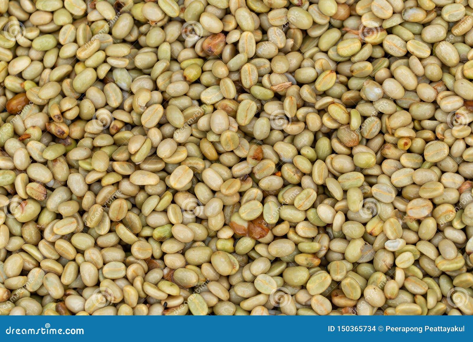 Frische Arabicakaffeekirschen Organischer Kaffebauernhof