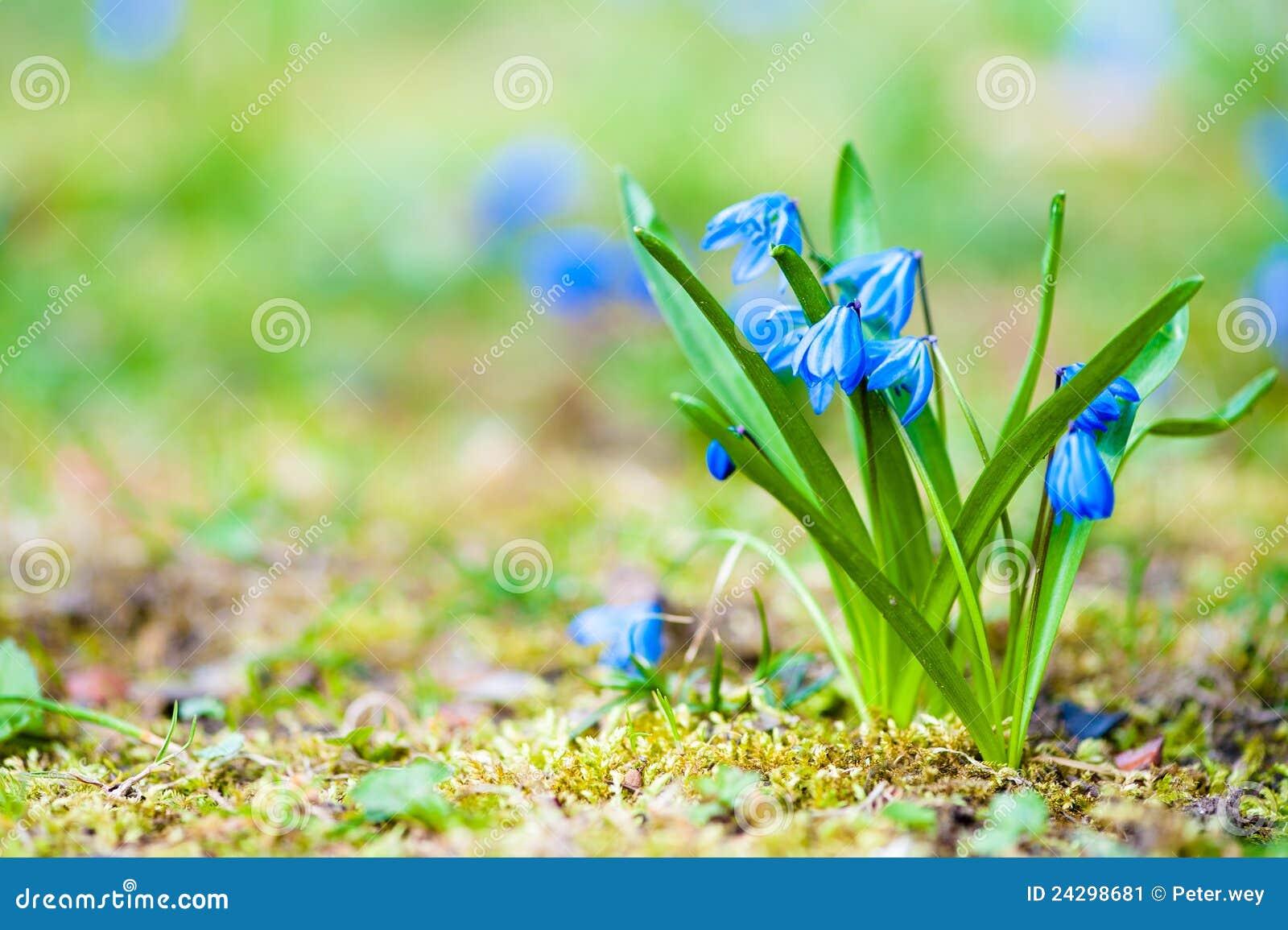 frische blaue fr hlingsblumen stockbild bild 24298681. Black Bedroom Furniture Sets. Home Design Ideas