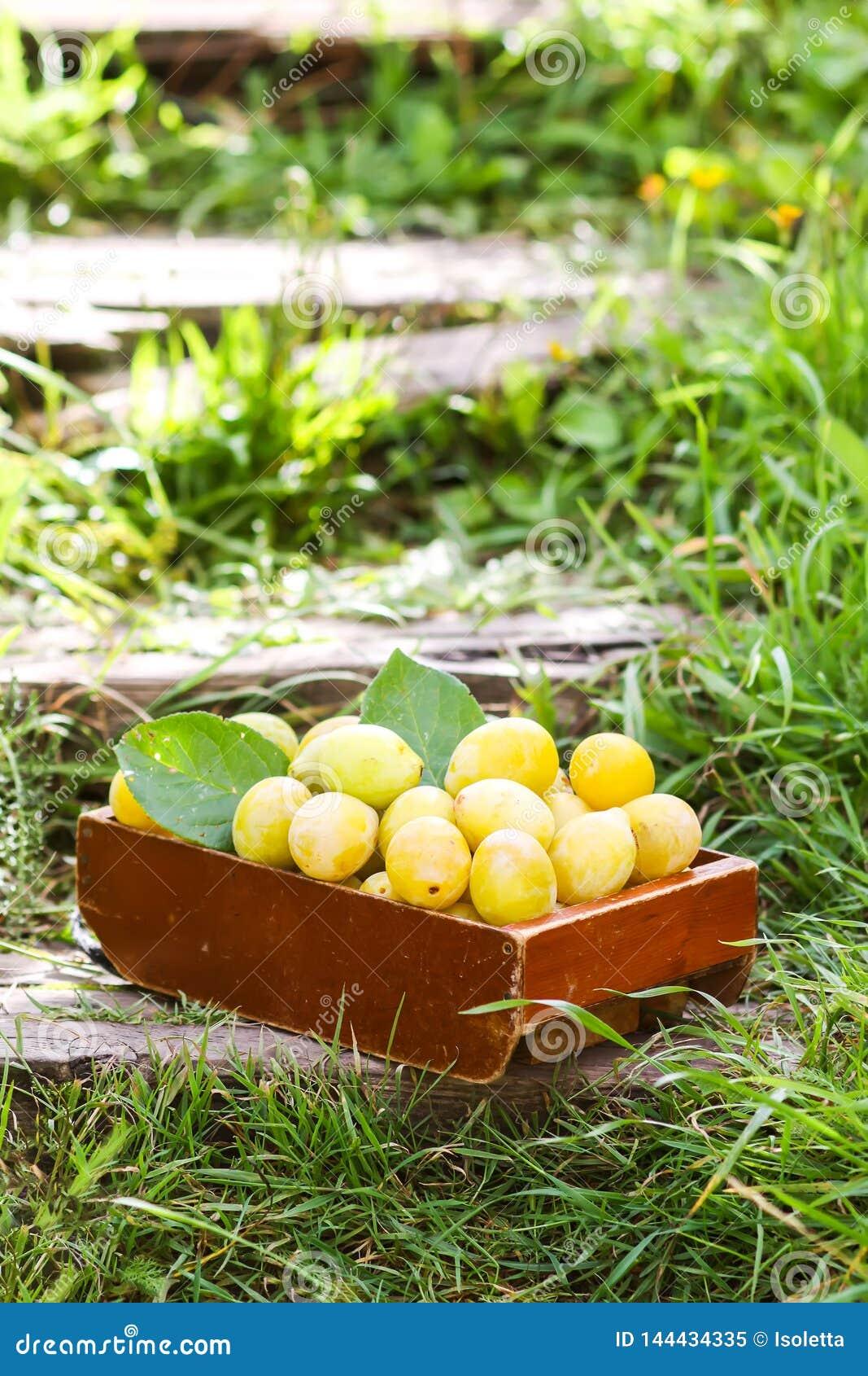 Frische gelbe Pflaumen Reife Fr?chte in einer Holzkiste auf gr?nem Sommergras