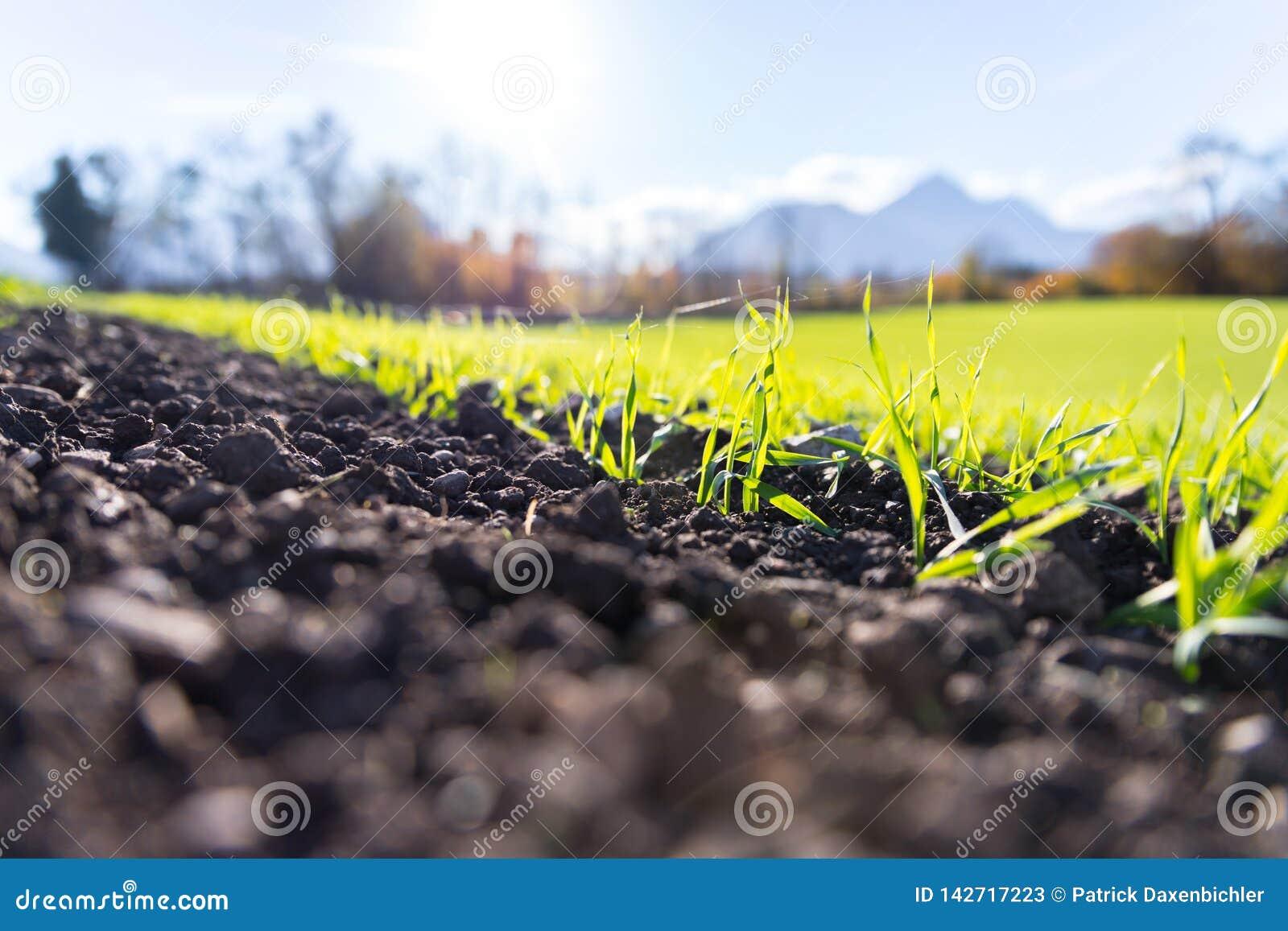 Frische, grüne und fruchtbare agricutlure Anlagen, Gras