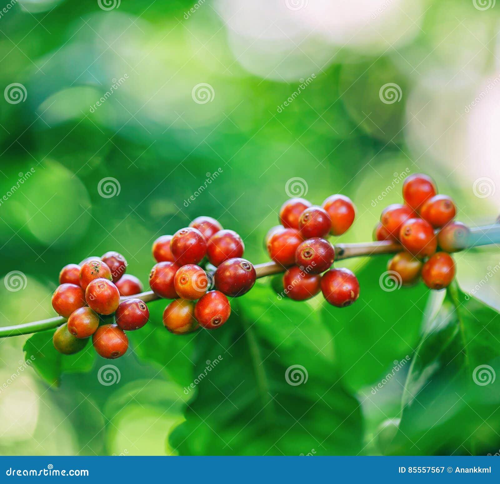Frische Kaffeebohnen auf Baum