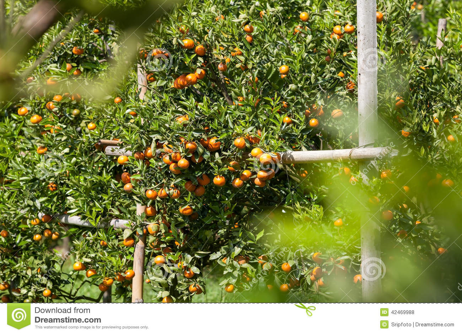 Frische Orange auf Anlage, Orangenbaum