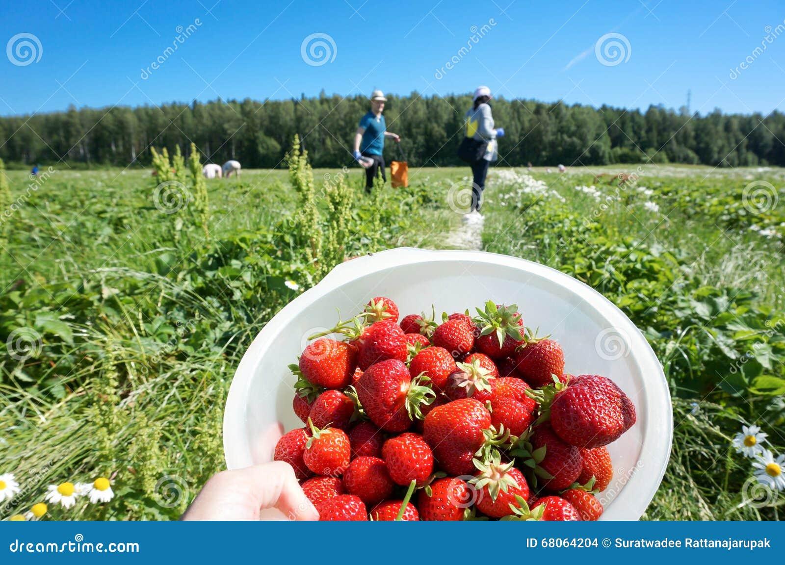 Frische organische Erdbeeren der Ernte im Sommer