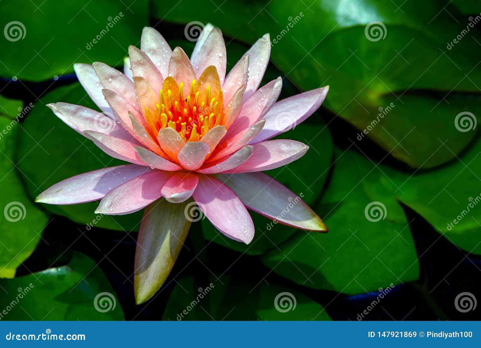 Frische orientalische Seerose in voller Blüte