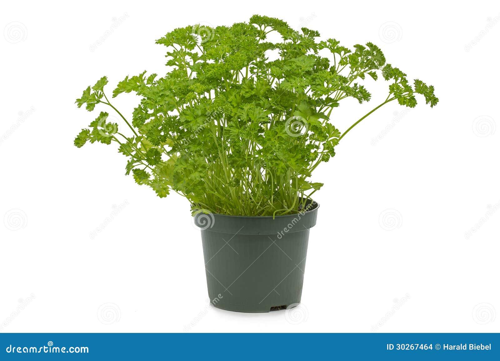 frische petersilie in einem topf stockfoto bild von gras hintergrund 30267464. Black Bedroom Furniture Sets. Home Design Ideas