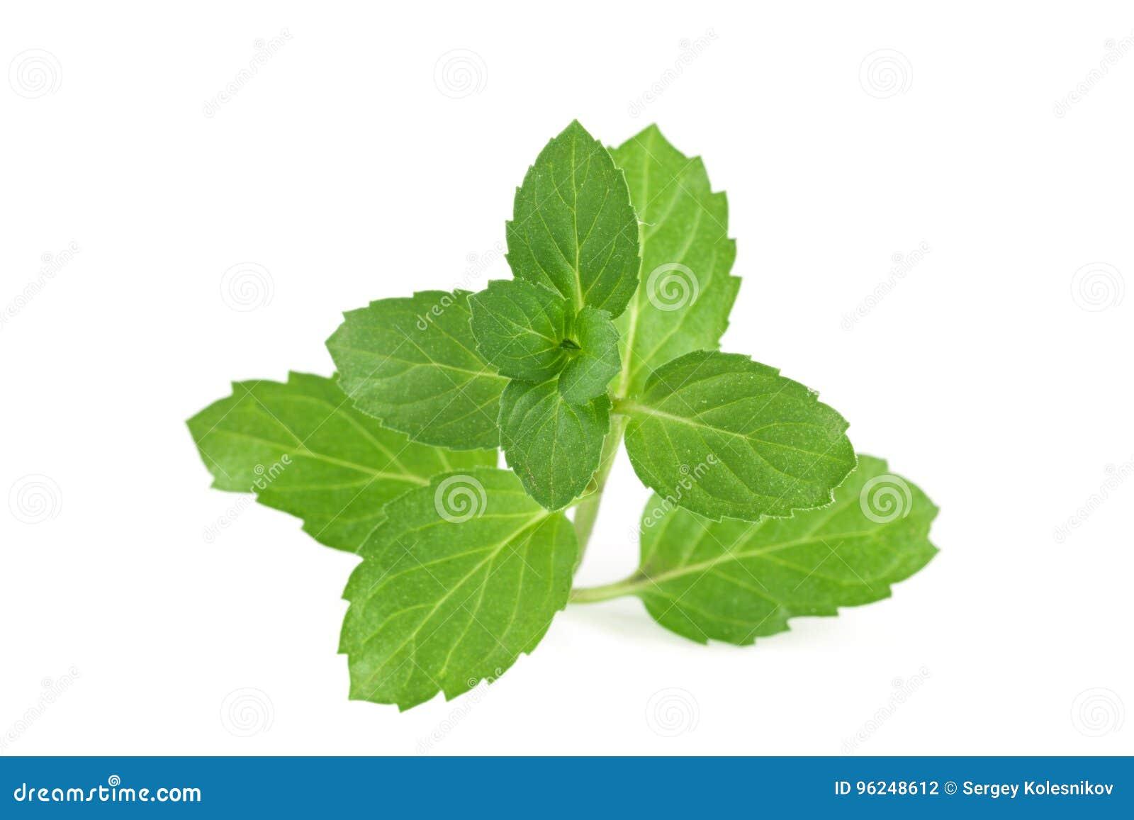 Frische tadellose Blätter getrennt auf weißem Hintergrund
