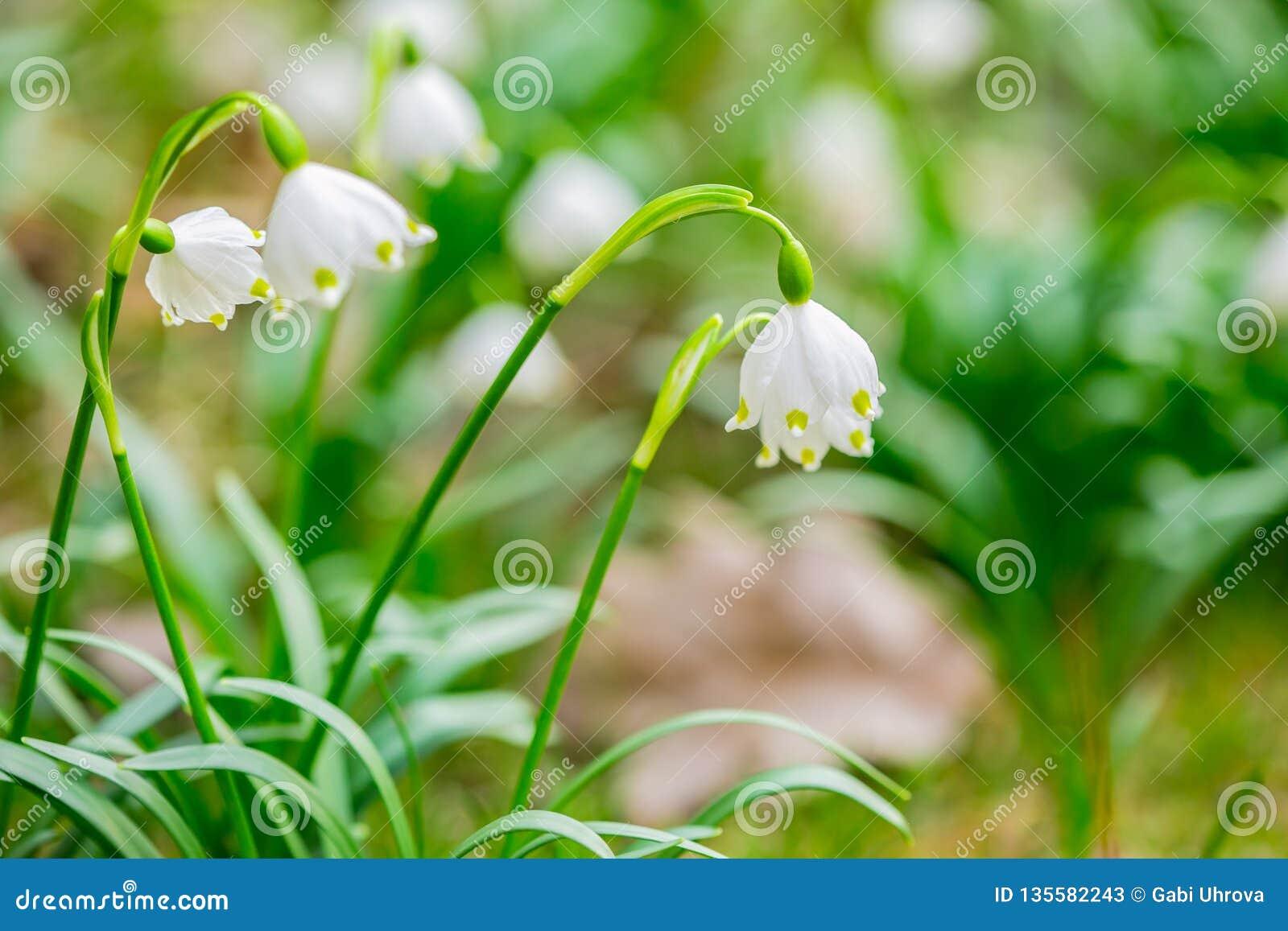 Frische weiße und gelbe Frühlingsschneeflockenblumen