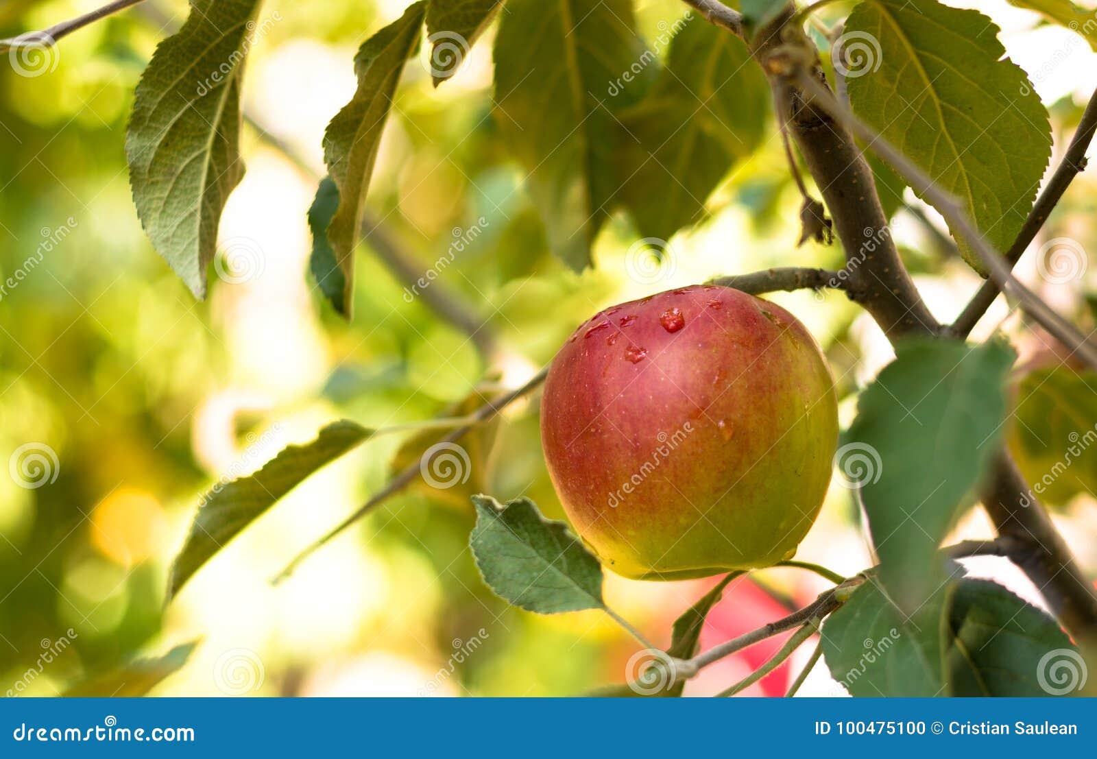 Frischer Apfel im Baum