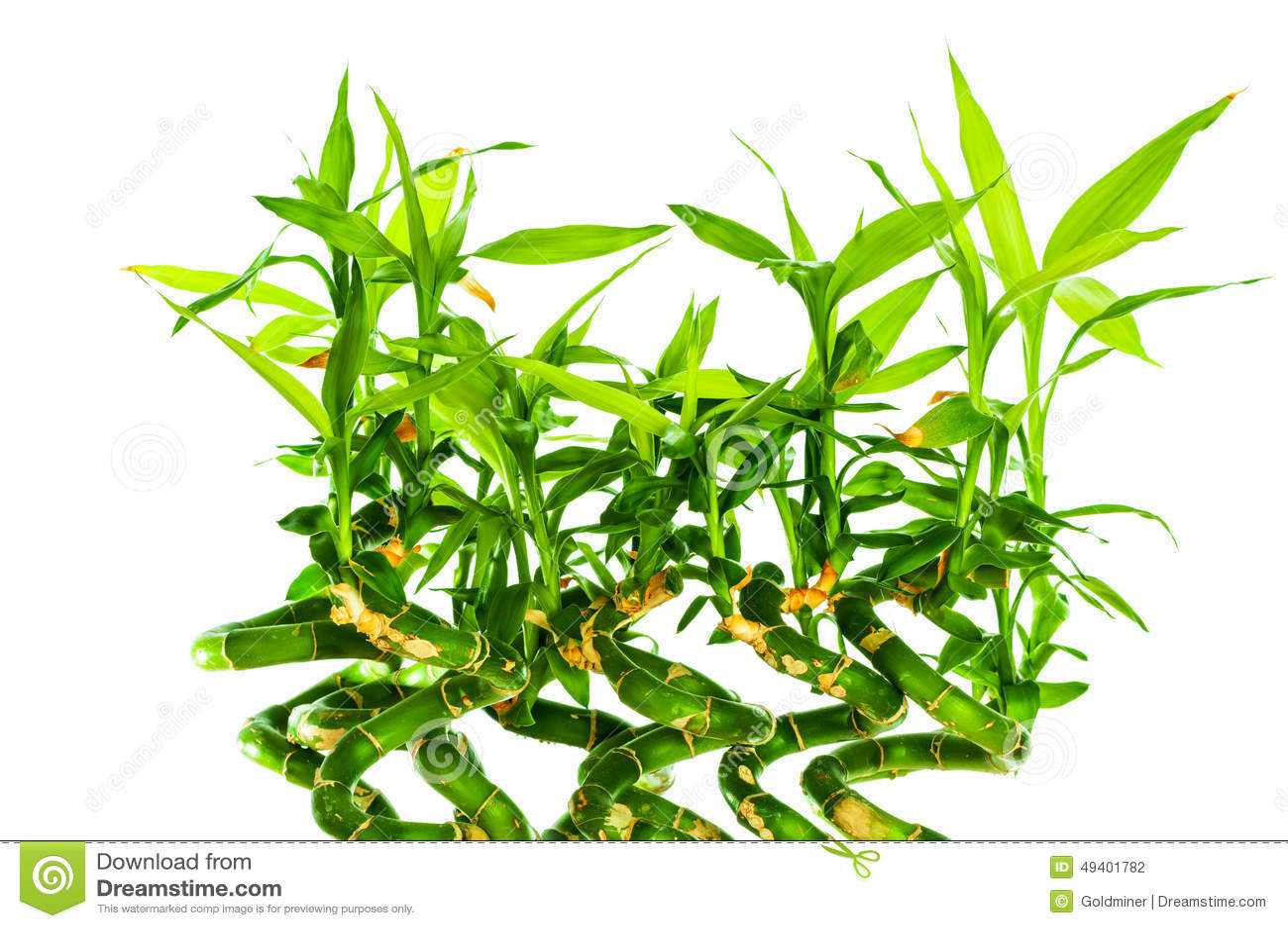 Download Frischer Bambus stockfoto. Bild von nahaufnahme, kultiviert - 49401782